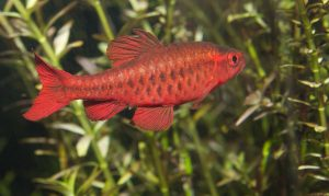 barb fish, baarb species, cherry barb, freshwater aquariums, beginners fish, aquarium setup, aquarium guides, barbs aquarium , freshtwater aquarium fish, community fishm aquarium setup
