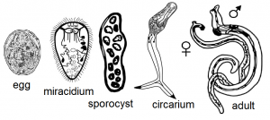 trematode, koi fish, koi parasites,carp flukes, pond parasites
