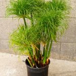 giant papyrus, dwarf papyrus, green water plants, aquatic plants, pond plant, water gardens