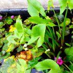 arrowhead water plants, aquatic plants, pond plant, water gardens