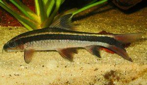 flying fox, freshwater aquarium fish, pond fish, algae eating fish, community fish, algae cleaning, pond maintenance