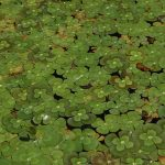 four leaf clover, invasive aquatic plants, aquatic plants, pond plants, water plants, fountain plants, fountain decoration, water gardens