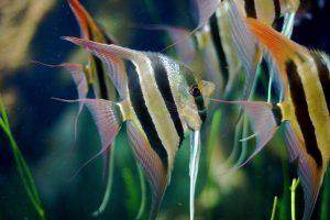 freshwater aquarium angelfish aquarium, aquarium setup, aquarium store, aquarium installation, freshwater fish aquarium