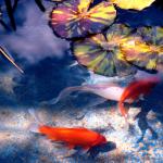 garden pond, pond fish, koi fish, goldfish pond, koi carp, koi pond