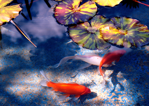 7 Fish You Can Keep in a Pond