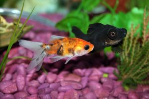 goldfish, fancy goldfish, goldfish aquarium, goldfish aquarium setup, aquarium guides