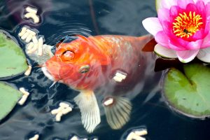 goldfish pond, koi pond, goldfish and koi, pond construction, pond fish