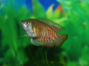 beginners fish, aquarium setup, aquarium guide, gourami aquarium , freshtwater aquarium fish, community fish, aquarium setup
