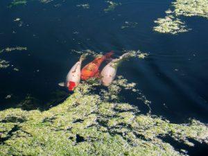 pond algae, koi pond algae, algae clening, algae in koi pond, pond maintenance, algae eating fish, fish pond