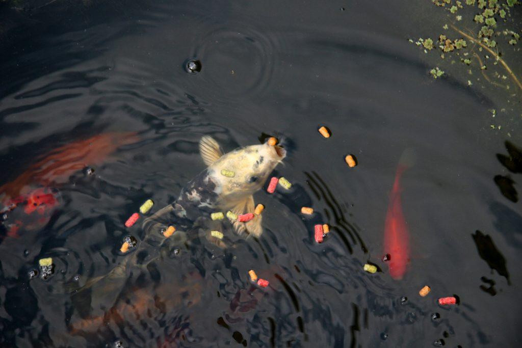 koi fish, koi food, koi feeding, koi color enhancers, koi pellets, koi treats, koi feeding schedule