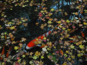 pond winterization, pond fall care, koi fish fall care, koi winter care