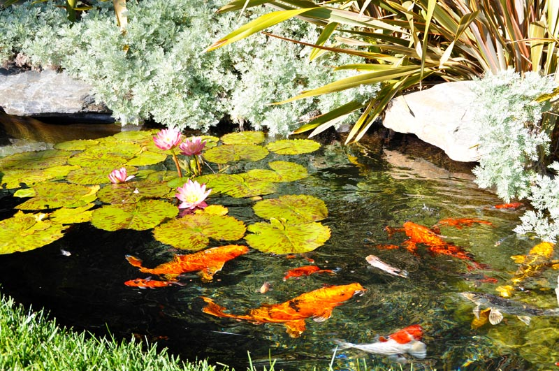 10 Things You Should Know Before Building a Koi Pond