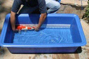 koi measuring tank, koi fish, koi quarantine, ading new fish to a pond, pond maintenance