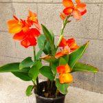 canna, orange aquatic plants, aquatic plants, pond plant, water gardens