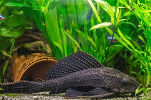 plecos, freshwater aquarium, algae eaters, algae eating fish, aquarium setup, aquarium maintenance, janitor fish