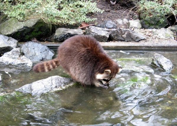 pond predators, raccoon, koi pond, fish pond, pond protection