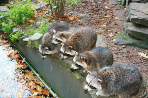 raccoons, pond predators, pond fish, pond poachers, pond protection