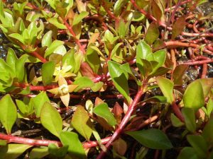 red star ludwigia, aquatic plants,pond plants, fountain plants, water gardens