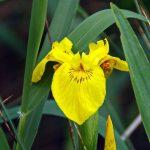 yellow flag, water iris, fountain plants,pond plants, fountain decoration, aquatic plants, water gardens