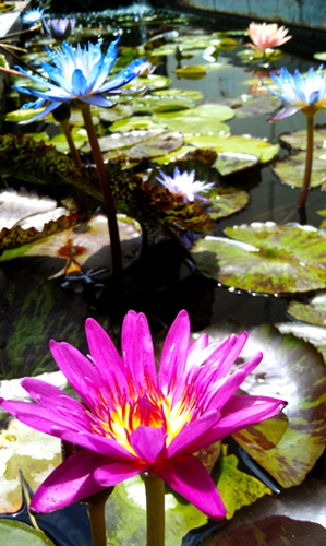 tropical water lily, water lily pond, los angeles water gardens
