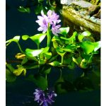 water hyacinth, aquatic plants, pond plant, water gardens
